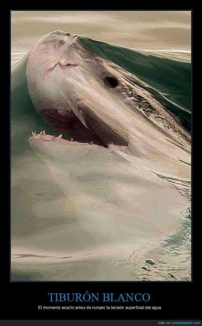 agua,tensión superficial,tiburón blanco
