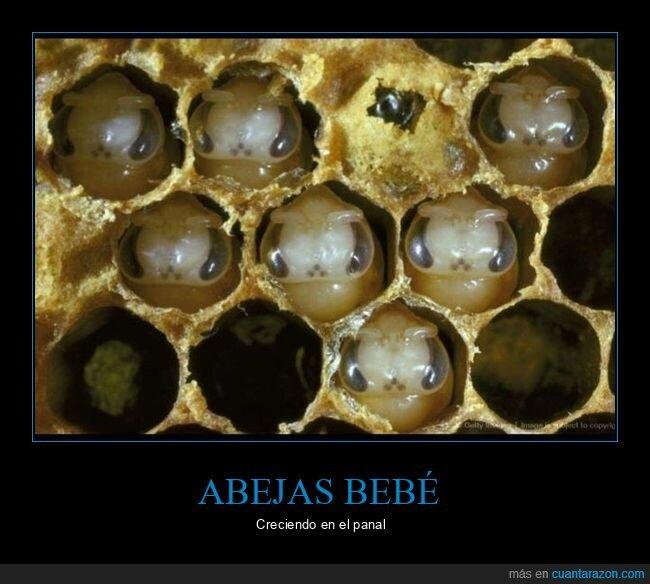 abejas,creciendo,panal