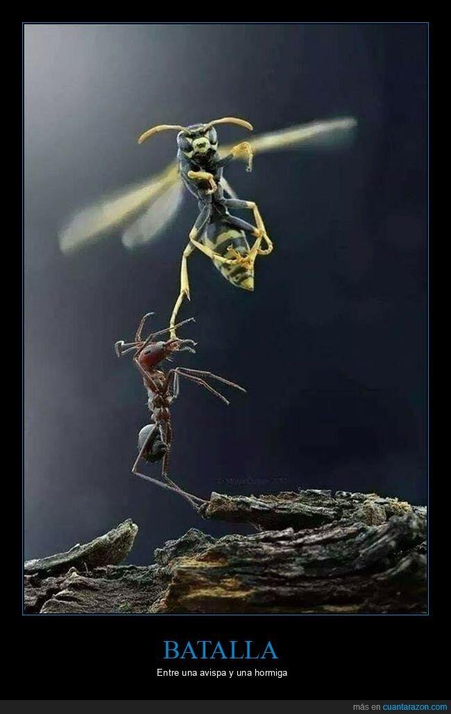 avispa,hormiga,pelea