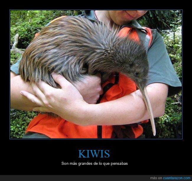kiwi,pájaro,tamaño