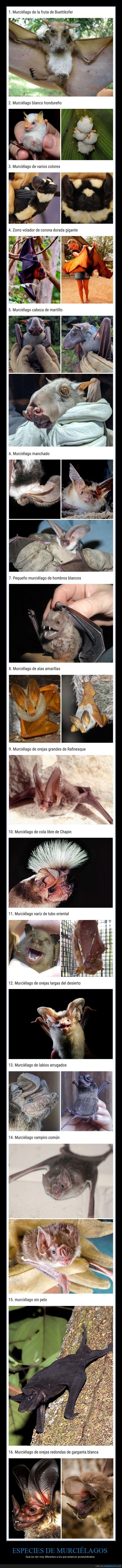 curiosidades,murciélagos