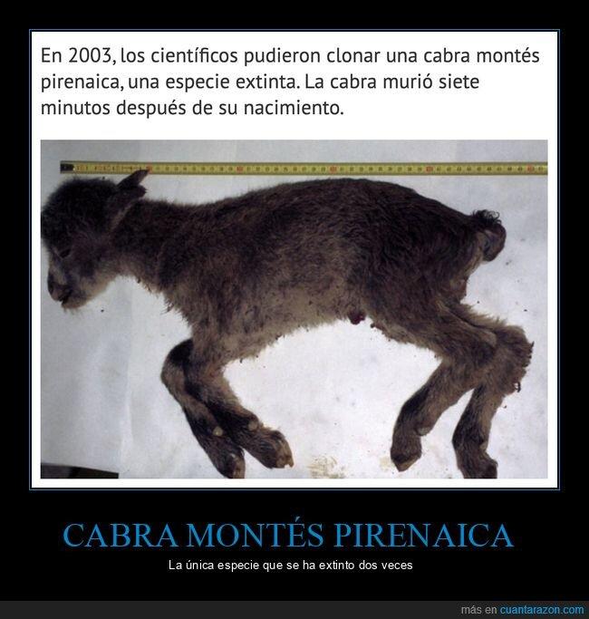 cabra montés pirenaica,clonación,extinción,muerte