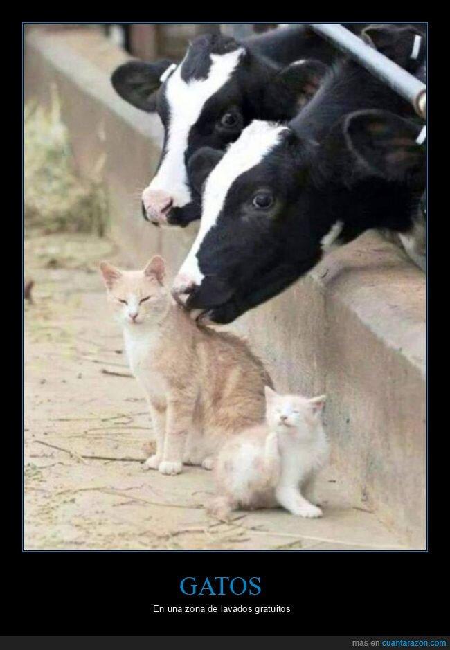 chupando,gatos,lavando,vacas