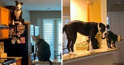 Enlace a Este pitbull rescatado cree ser un gato, y su nueva familia no para de subir fotos que lo demuestran