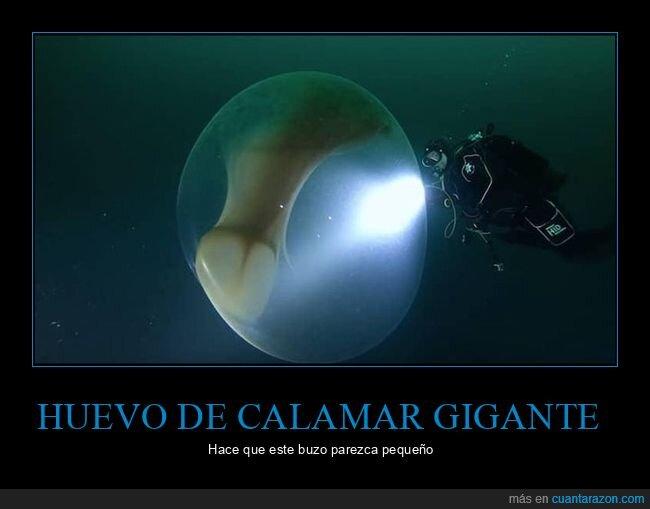 calamar,gigante,huevo