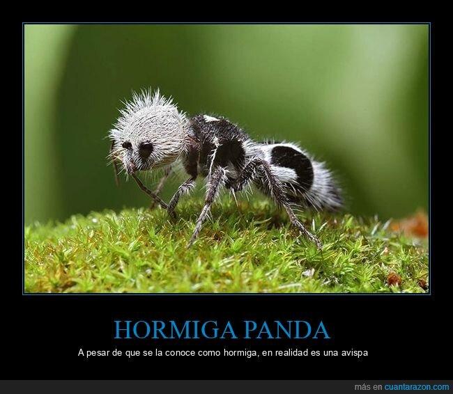 avispa,curiosidades,hormiga panda