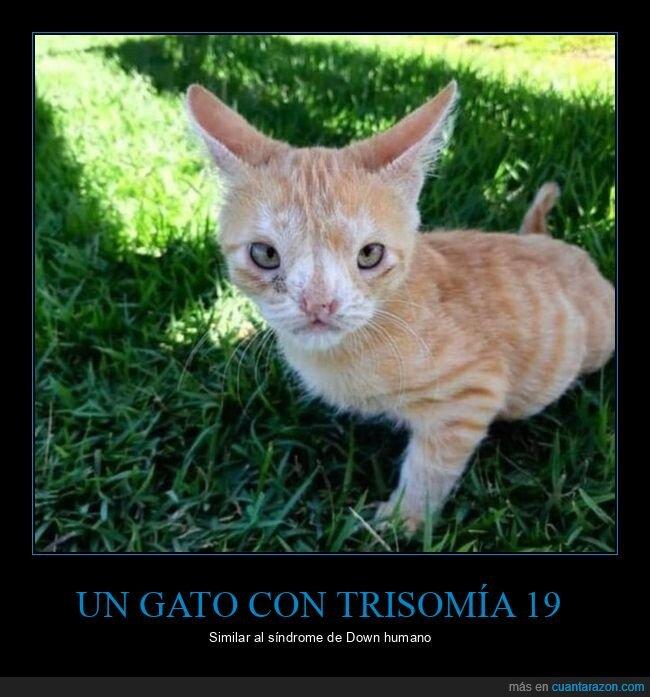 gato,síndrome de down,trisomía