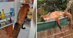 Enlace a Personas que encontraron un zorro en sus casas y compartieron las imágenes