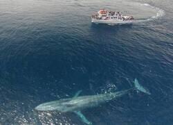 Enlace a El enorme tamaño de la ballena azul