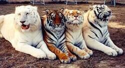 Enlace a Cuatro tigres, cuatro colores
