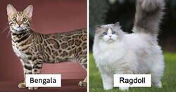 Enlace a De las razas de gatos más populares y sus orígenes