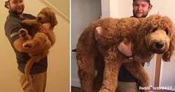 Enlace a Labradoodle: la raza de perro que cautiva a internet y su oscura realidad