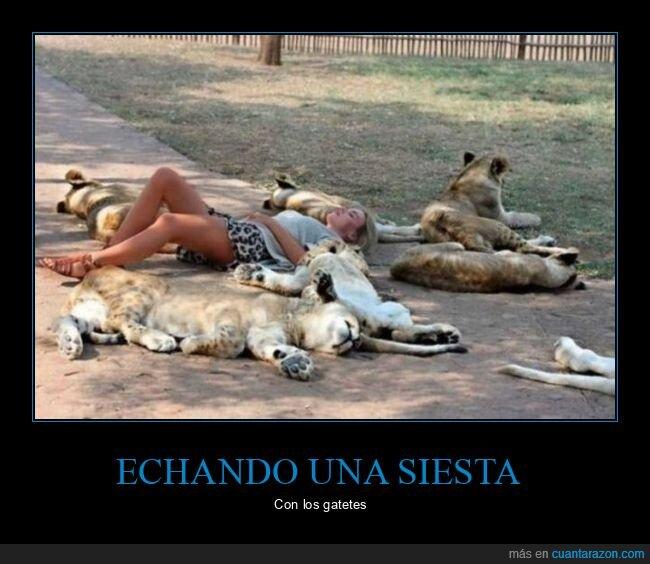 durmiendo,leones,siesta
