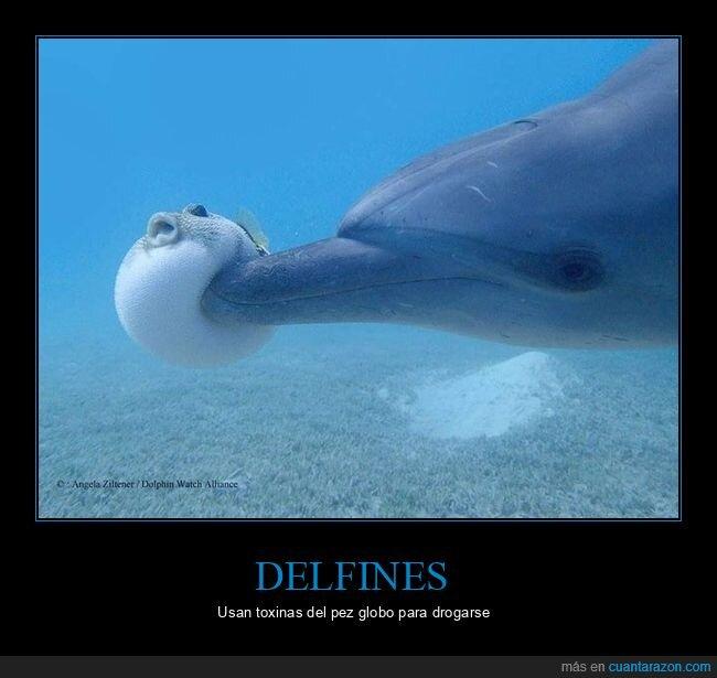 delfines,drogarse,pez globo,toxinas