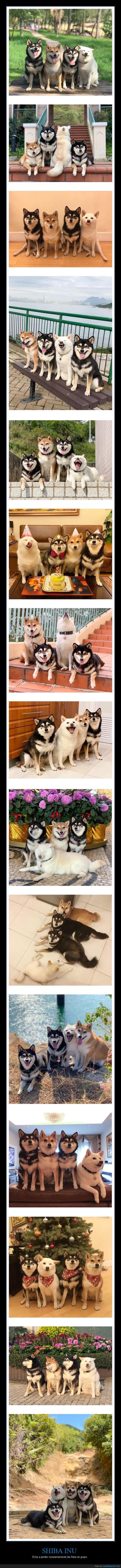 fotos en grupo,perros,shiba inu