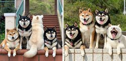 "Enlace a Este shiba inu se vuelve viral por ""arruinar"" constantemente las fotos en grupo"