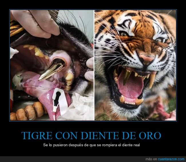 diente,oro,tigre