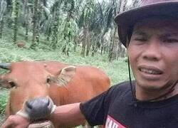 Enlace a Venganza bovina