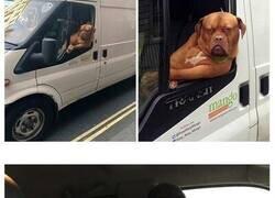 Enlace a Perros que disfrutan haciendo el tonto al viajar en coche y sus dueños tuvieron que sacarles una foto