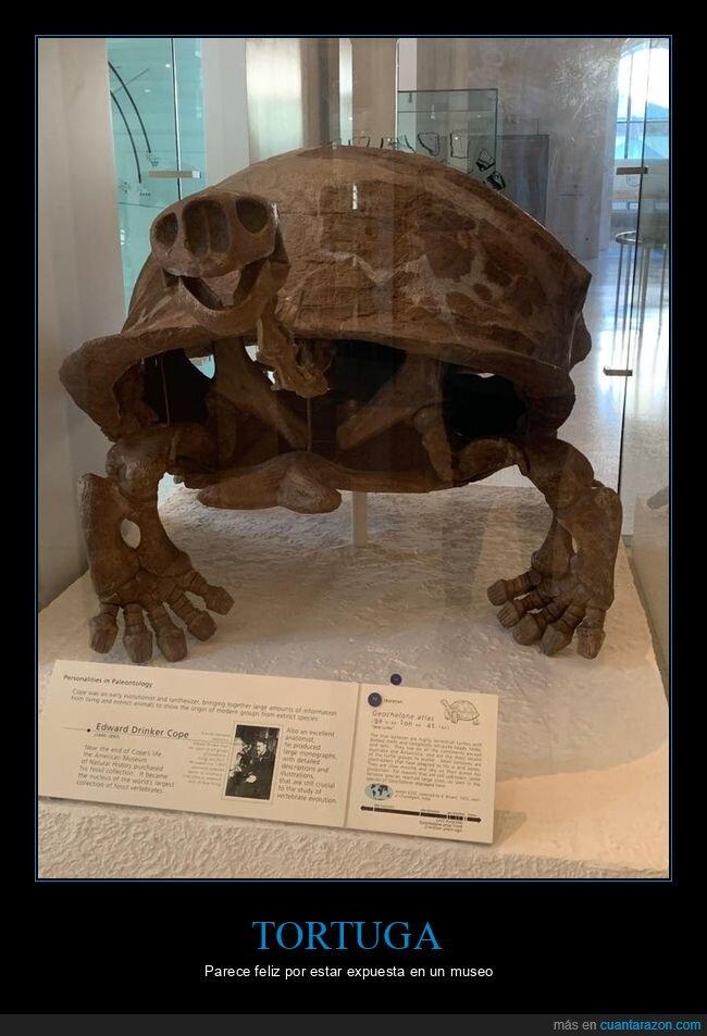 feliz,fósil,museo,tortuga