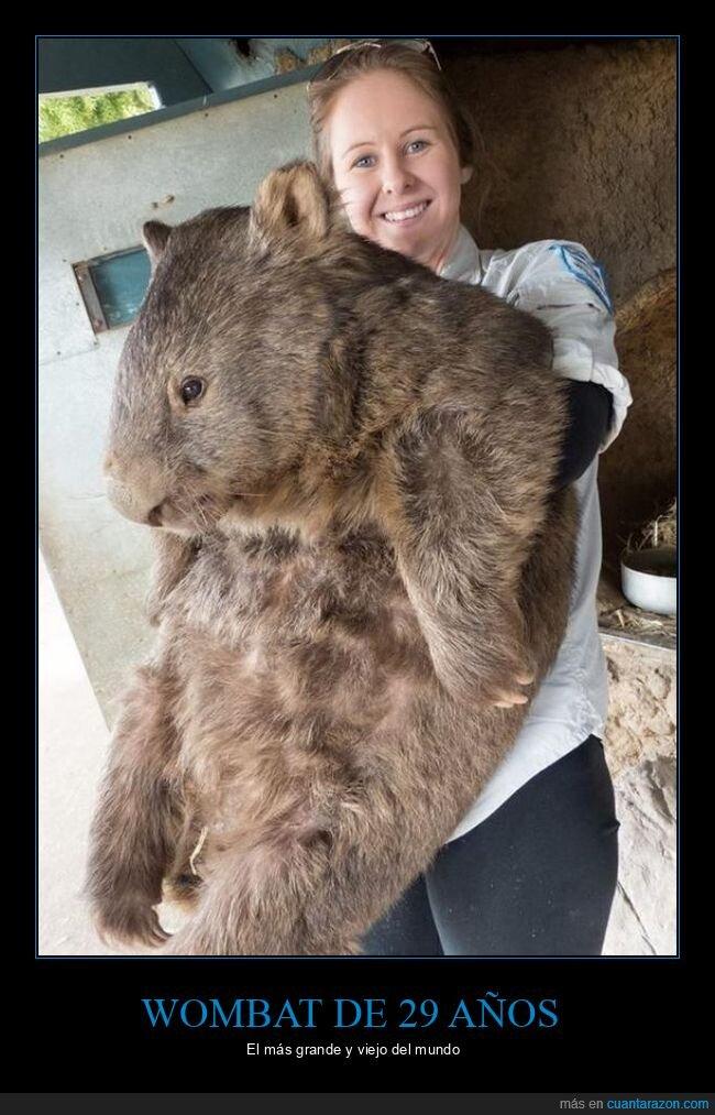 29 años,grande,viejo,wombat
