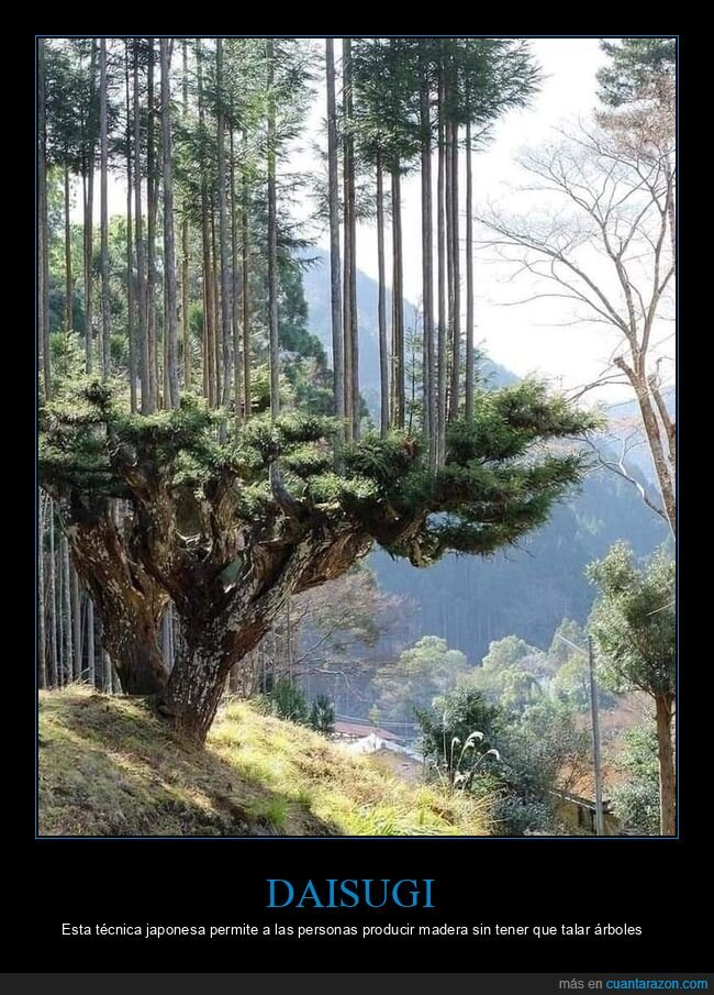 árboles,daisugi,madera,talar