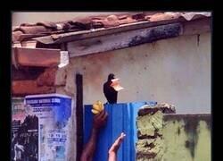 Enlace a Se ha convertido en un ave muy popular