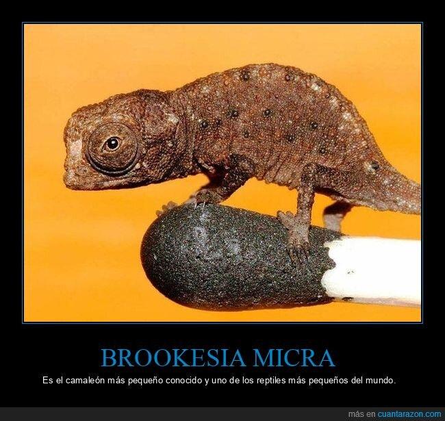 brookesia micra,camaleón,pequeño