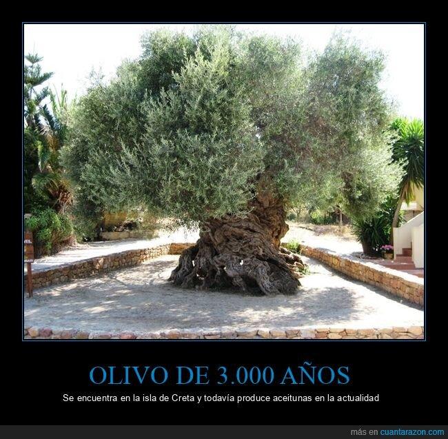 3000 años,aceitunas,olivo
