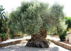 Enlace a Un árbol milenario