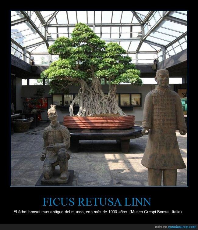 antiguo,bonsai,curiosidades,ficus retusa linn