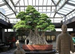 Enlace a Bonsai milenario