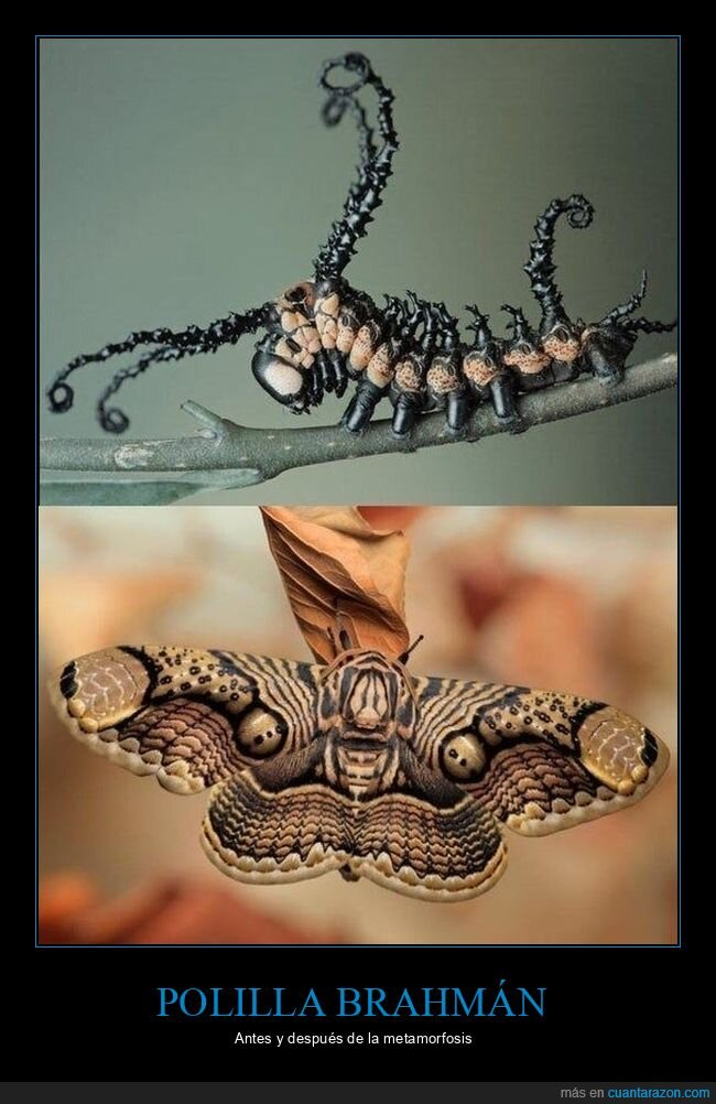 antes,después,metamorfosis,polilla brahmán