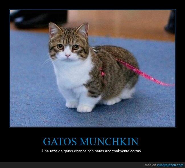 cortas,gatos,munchkin,patas
