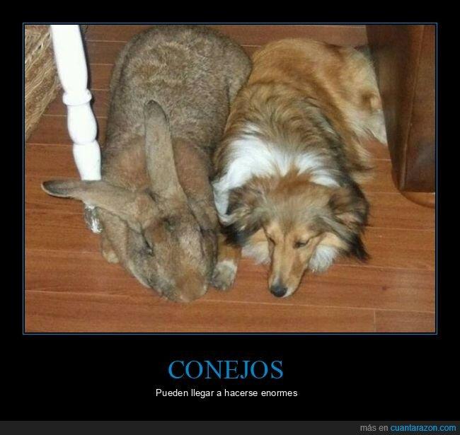 conejo,gigante,perro