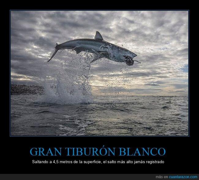 récord,salto,tiburón blanco