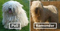 Enlace a Razas de perro bien conocidas que la gente a menudo confunde, y sus diferencias explicadas