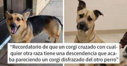 Enlace a Parece que si cruzas un perro Corgi con otra raza, el resultado parece un Corgi disfrazado del otro perro