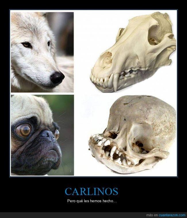 carlinos,cráneos,curiosidades,perros