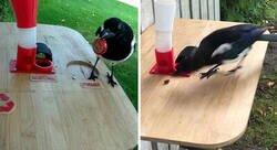 Enlace a Este hombre construyó un comedero para pájaros que cambia chapas por comida, y a las urracas les encanta