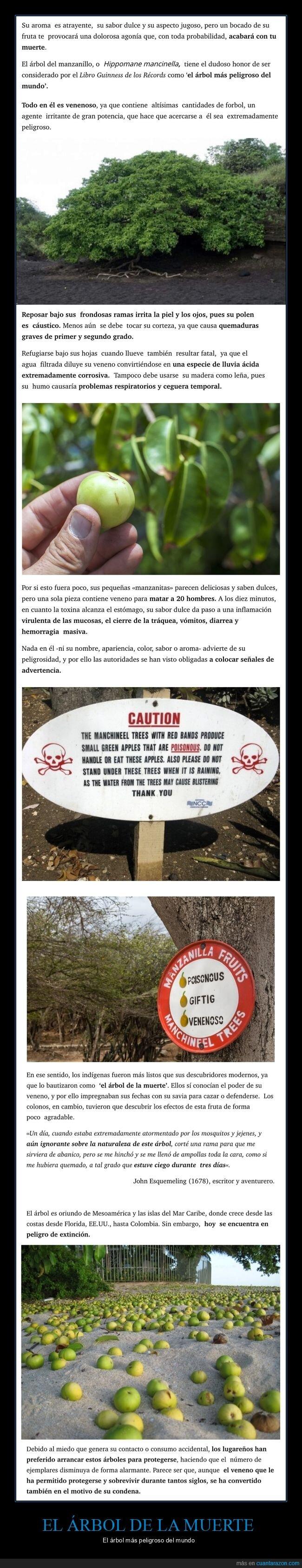 árbol de la muerte,curiosidades,peligroso