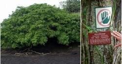 Enlace a Se le conoce como el árbol de la muerte, y es el más peligroso del mundo