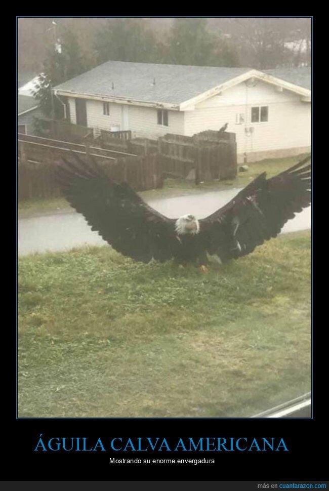águila,alas