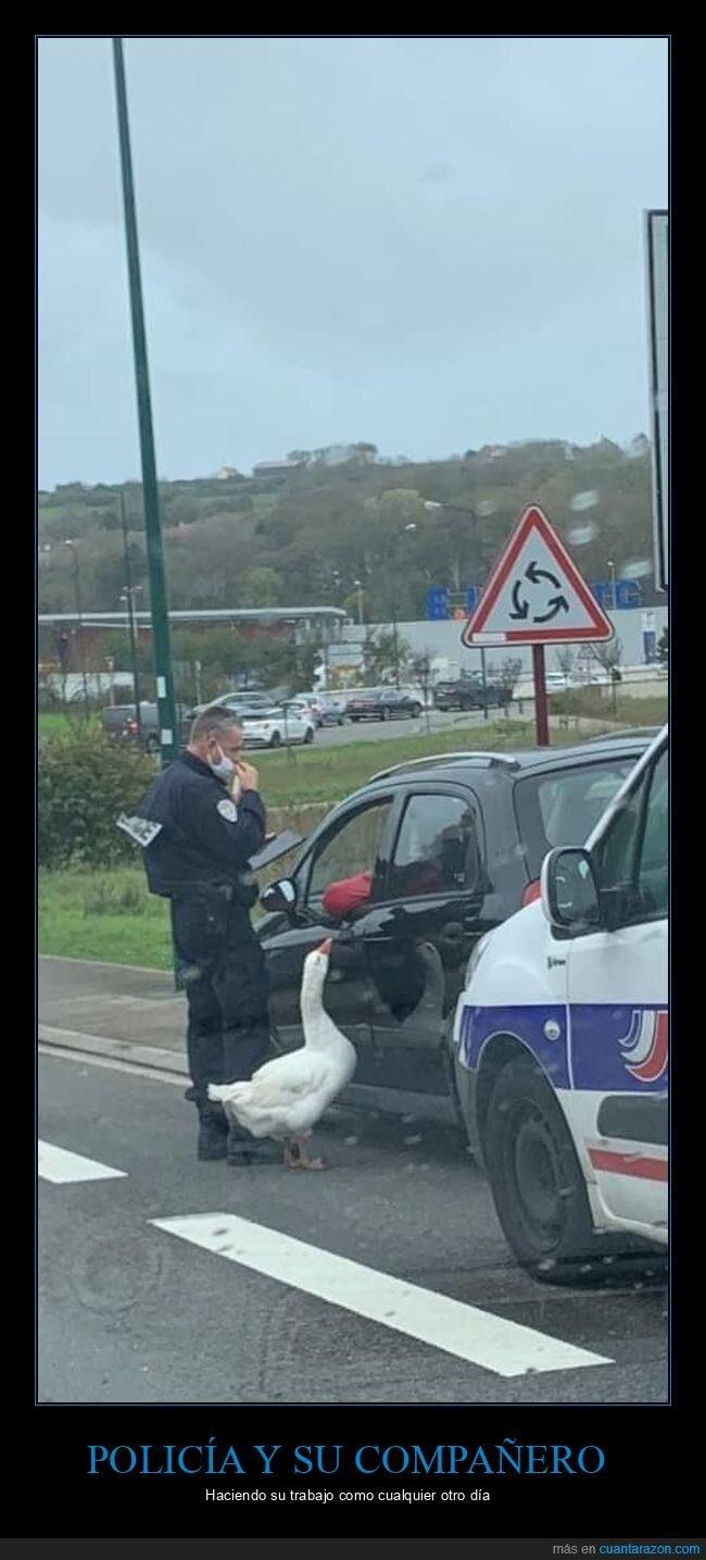 coches,ganso,policía,wtf