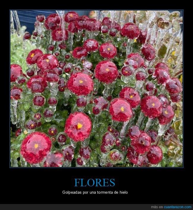 flores,hielo