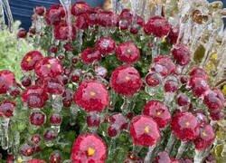 Enlace a Flores gélidas
