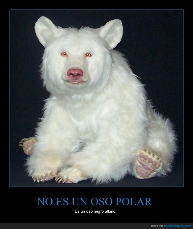 albino,oso negro