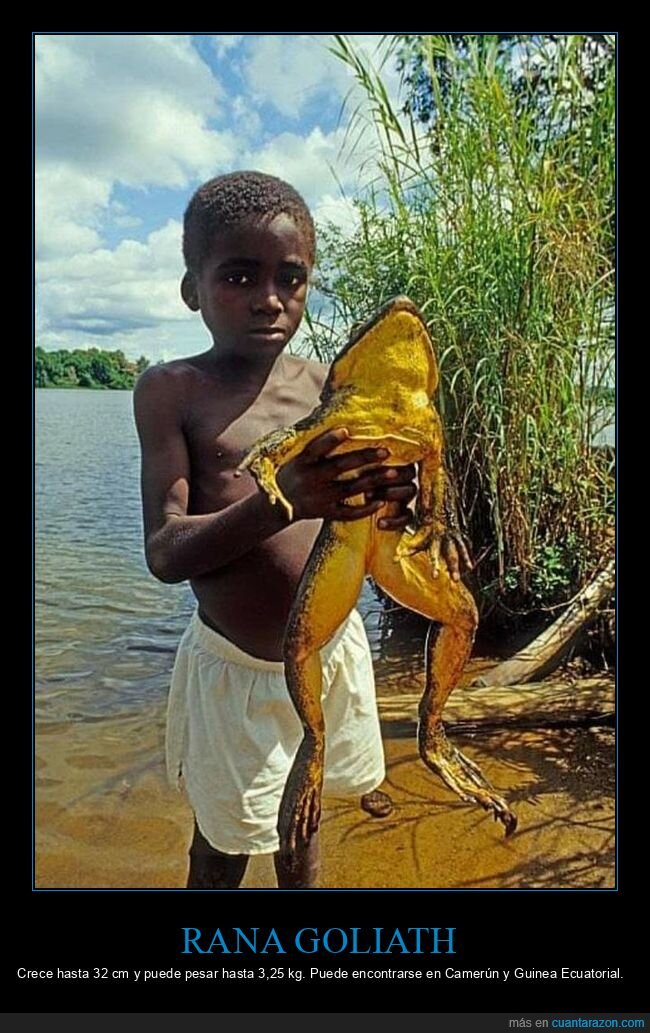 curiosidades,gigante,rana goliath