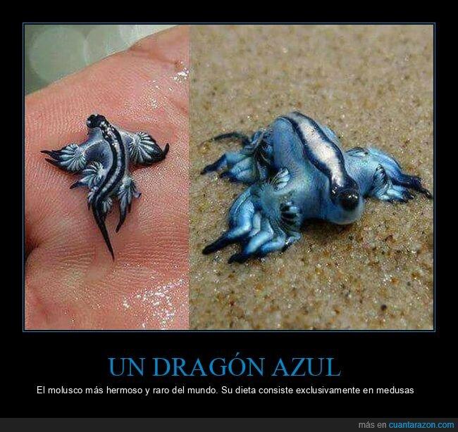 dragón azul,molusco