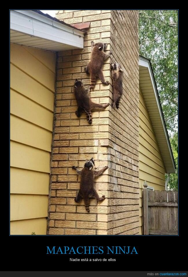 mapaches,pared,wtf
